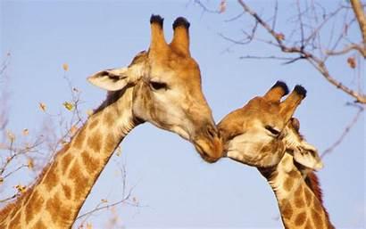 Giraffe Kiss Animal 10wallpaper Wallpapers Pairs