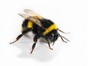 Big Black Bee - Bumblebee vs Carpenter Bee | Best Bee Brothers