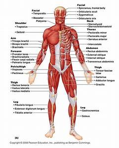 System Diagram Labeled 209 Human Muscular System Diagram