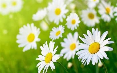 Daisy Flower Desktop Wallpapers Resolution Daisies Flowers