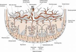 Fetal Arteries Diagram