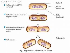 Binary Fission In Bacteria Ppt