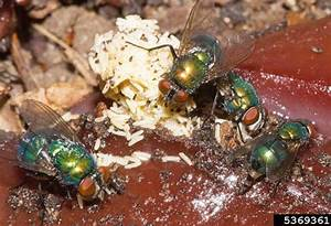 common green bottle fly - Lucilia sericata (Meigen)