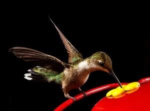 hummingbird diet earth earthsky