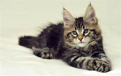 Wallpapers Coon Maine Cat Kitten Huge