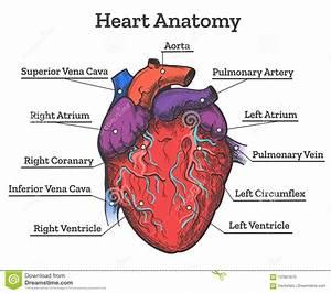 Heart Anatomy Colored Sketch Stock Vector