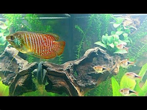 fische für 60 liter aquarium juwel aquarium 180 l gesellschaftsbecken 5 tage nach einzug der fische teil 1 hd