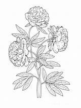 Pfingstrose Peony Ausmalbilder Coloring Flowers Malvorlagen Ausdrucken Kostenlos Zum sketch template