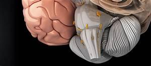 Scientific 3D model of the human brain