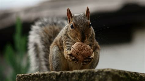 papers squirrel wallpaper