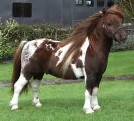 Shetland Pony Stallion