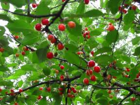What Does Cherry Tree Look Like