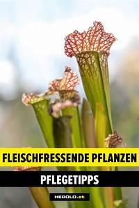 Fleischfressende Pflanze Pflege : feed me fleischfressende pflanzen f r zuhause ~ A.2002-acura-tl-radio.info Haus und Dekorationen