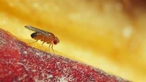 Wie Wird Man Obstfliegen Los : obstfliegen loswerden ~ Orissabook.com Haus und Dekorationen