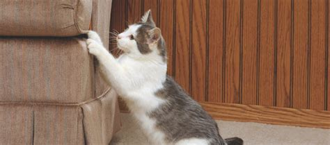 Stop Cat From Scratching Furniture by How To Stop A Cat From Scratching Furniture Dogs Cats Pets