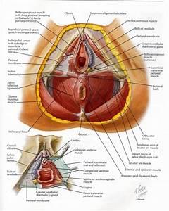 Female anatomy pelvis human anatomy diagram for Pelvic floor muscle spasms