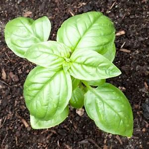 Basil Plant Feeding  U2013 When And How To Fertilize Basil