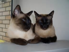 siamese cats for two lovely siamese cat 1400x1050 wallpapers siamese cat