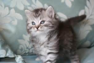 siberian cats silver siberian kittens silver siberian cats cats
