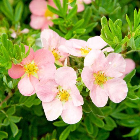 Potentilla fruticosa Pink Beauty - Potted Shrubs - Tree ...
