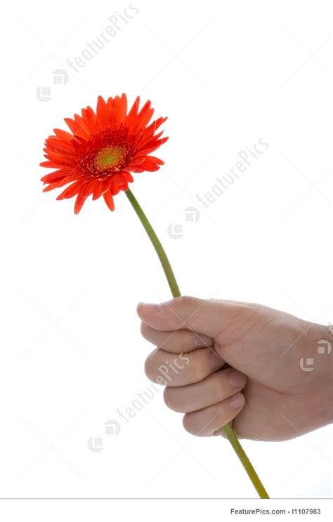 hand holding gerber flower stock picture