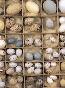 southern cassowary eggs | Eggs | Pinterest | Eggs, Birds ...