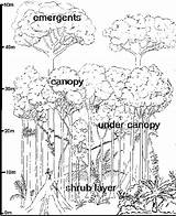 Rainforest Layers Coloring Tropical Plants Section Cross Tree Trees Outline Structure Pages Vegetation Typical Canopy Forest Drawing Geography Rain Layer sketch template