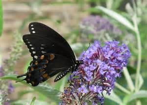 Black Butterflies Identification