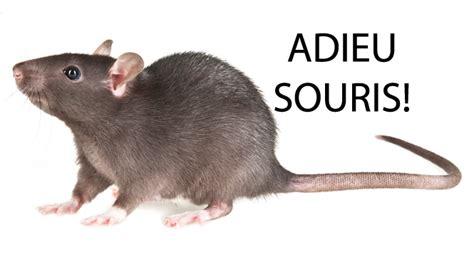 rat dans la maison un lve mordu par un rat dans la cour de lu0027cole souris rat dans