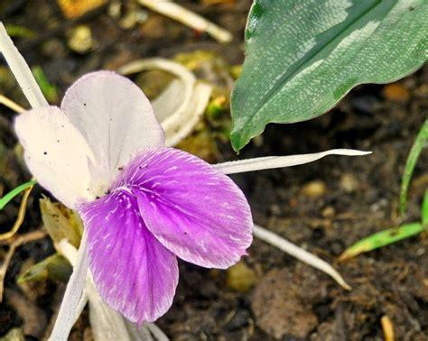manfaat khasiat kunyit putih temu rapet tanaman
