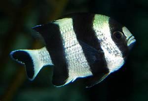 Dascyllus melanurus - Wikipedia
