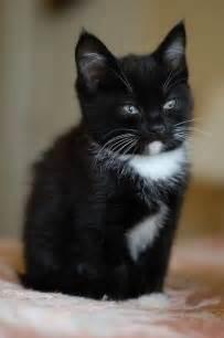 tuxedo cat names best 25 tuxedo kitten ideas on adorable