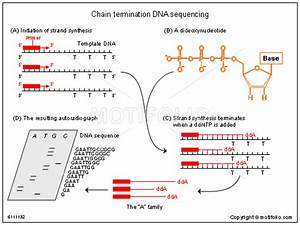 Chain Termination Dna Sequencing Illustrations