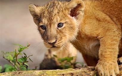 Lion Cub Desktop Cubs Wallpapers Wild Lions