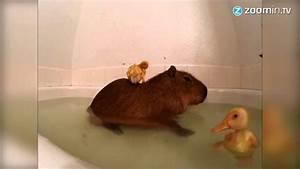 Wärmelampe Für Baby : wasserschwein dient als sprungbrett f r baby enten youtube ~ Yasmunasinghe.com Haus und Dekorationen