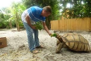tips interesting sulcata tortoise habitat for outdoor pet