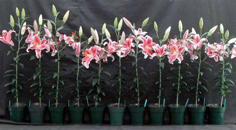 flower bulb research program dept of horticulture