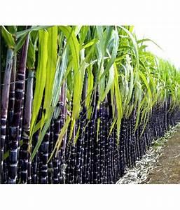 Futaba Sugarcane Fruit Seeds  Pack   Instruction