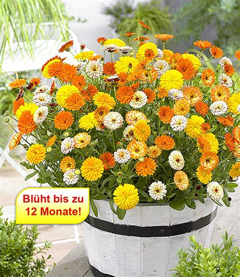 Winterharte Blumen Für Kübel by Winterharte Calendula Mix Winter Wonders 174 Baldur Garten