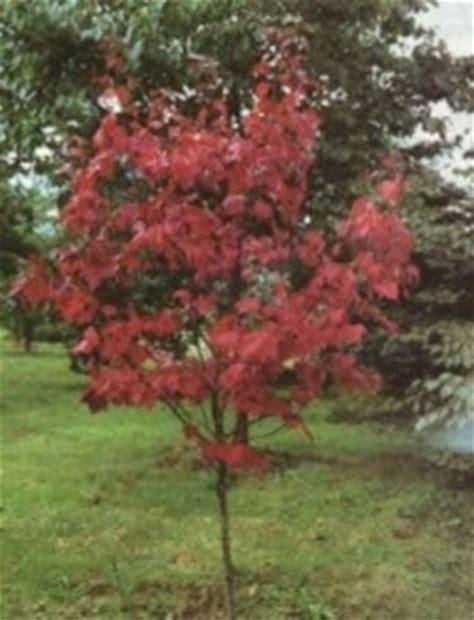 acero giapponese in vaso acero rosso giapponese domande e risposte giardino