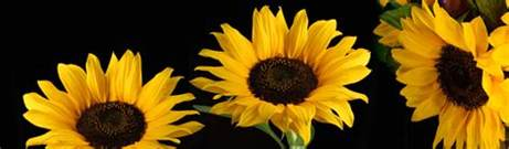 sunflowers design sunflower free web headers