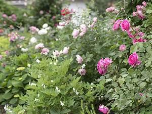 Rosenbeet Mit Stauden : so finden sie eine sch ne kletterrose f r ihren garten ~ Frokenaadalensverden.com Haus und Dekorationen