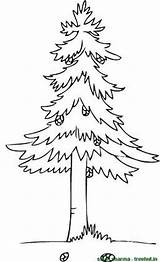 Coloring Pages Trees Tree Pine Cone Clipart Treehut Stick Tuesday Categories June Posted Am Views sketch template