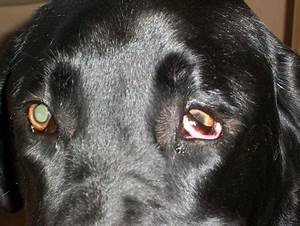 My black labs eye recently, like in the last few days ...