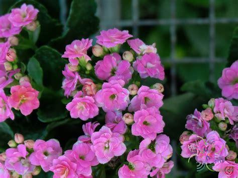 กุหลาบหิน สีชมพู Kalanchoe blossfeldiana Poelln. - ข้อมูล ...