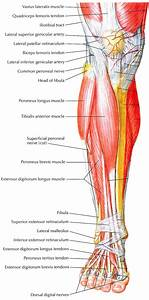 The Muscles That Work The Pulleys That Lift The Arches Of