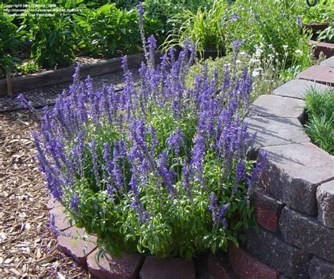 blue salvia plantfiles pictures salvia mealy cup sage mealycup sage victoria blue salvia farinacea by