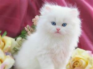 Black And White Kittens With Blue Eyes - wallpaper.