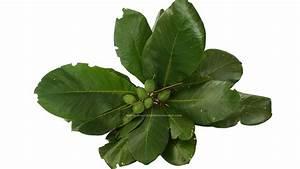70 Catappa Ketapang Indian Almond Leaf for Fish Tank ...