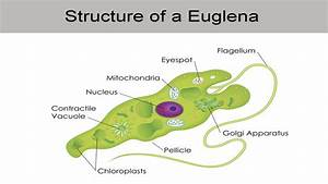 An Overview Of The Euglena Classification That U0026 39 Ll Interest
